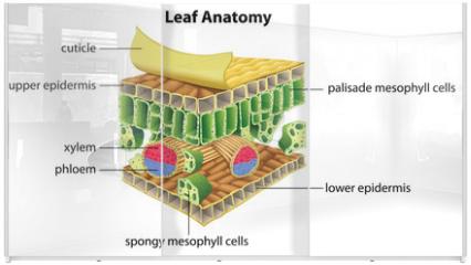 Panel szklany do szafy przesuwnej - Structure of a leaf