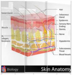 Panel szklany do szafy przesuwnej - Skin Anatomy
