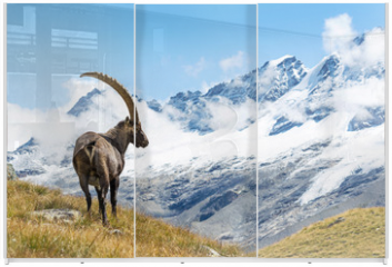 Panel szklany do szafy przesuwnej - Alpine Ibex (Capra ibex), Gran Paradiso National Park, Italy