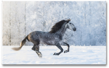 Plakat - Purebred horse galloping across a winter snowy meadow