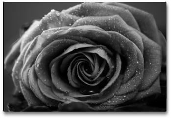 Plakat - Rose, Nahaufnahme, schwarzweiss Umwandlung