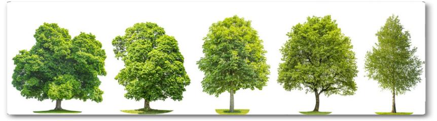Plakat - Set trees maple, oak, birch, chestnut. Isolated objects