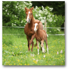 Plakat - Beautiful mare running with foal
