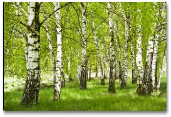 Plakat - Brzozowy zagajnik wczesną wiosną w pogodny dzień, Młode brzozy z młodymi zielonymi liśćmi w świetle słońca.