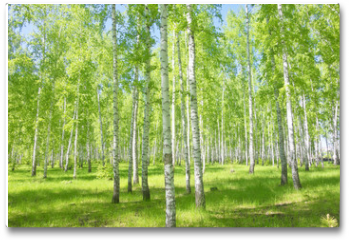 Plakat - summer birch forest