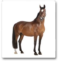 Plakat - Pferd weißer Hintergrund