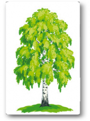Plakat - Birch tree - vector drawing