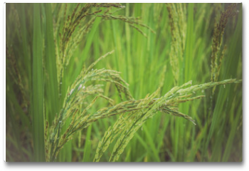 Plakat - ear of rice in green background.