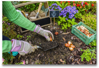 Plakat - The gardener planted bulbs of flowers to the ground. Work in the garden.