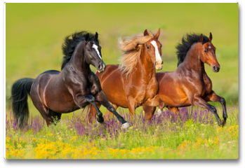 Plakat - Horses run gallop in flower meadow