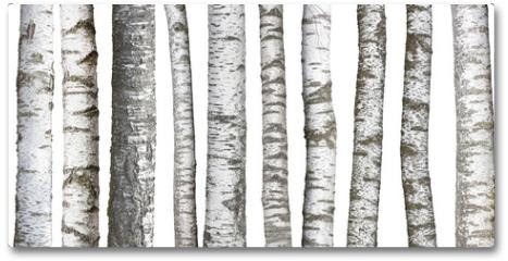 Plakat - Verschiedene Birkenstämme, isoliert auf weißem hintergrund