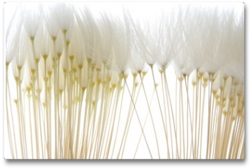 Plakat - soft white dandelion seeds