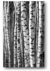 Plakat - Birch tree trunks - black and white natural background