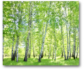 Plakat - birch forest