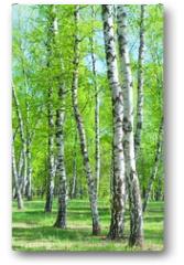 Plakat - Birch Grove, early summer morning