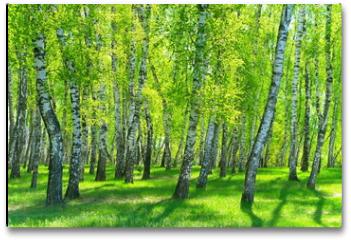 Plakat - birch grove on a sunny day