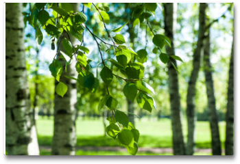 Plakat - Young birch branches in the sunlight . Spring green background. Juicy greens