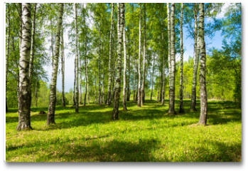 Plakat - Birch grove on a bright Sunny day.