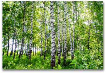 Plakat - birch grove