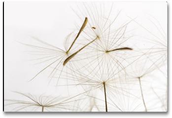 Plakat - dandelion fluff