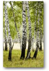 Plakat - birch forest summer landscape