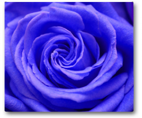 Plakat - rose
