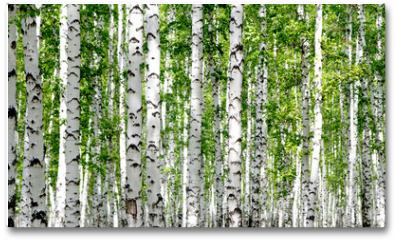 Plakat - White birch trees in the forest in summer