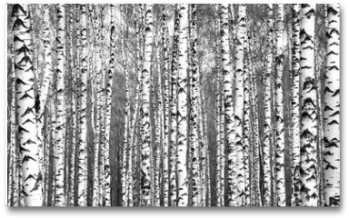 Plakat - Spring trunks of birch trees black and white