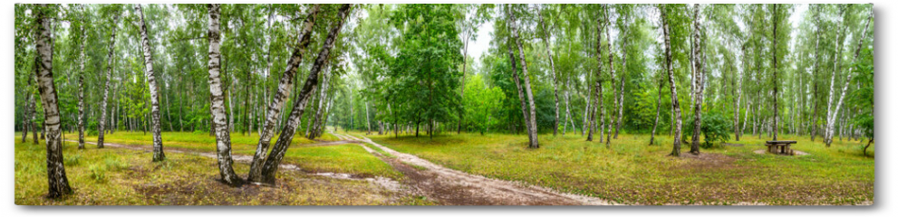 Plakat - Birch grove with a road and bench on sunny summer day, huge panorama