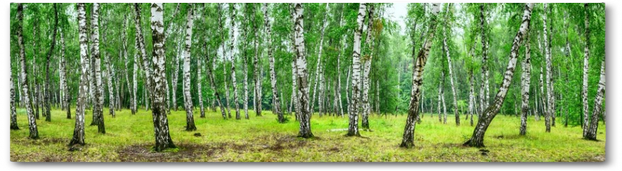 Plakat - Birch grove on a sunny summer day, landscape banner, huge panorama