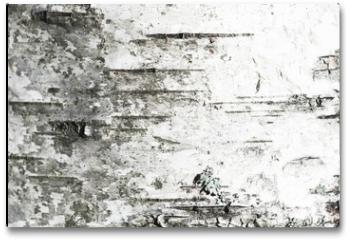 Plakat - White old birch tree bark. Closeup