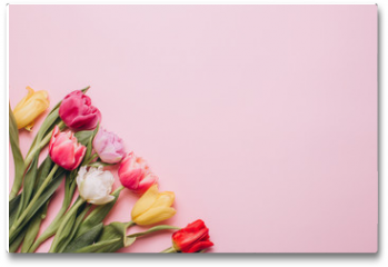 Plakat - Tulips on a pink background. Flat lay and top view.