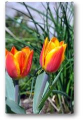Plakat - Tulpen rot-gelb