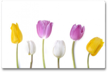 Plakat - colorful and pretty tulips standing  on white background