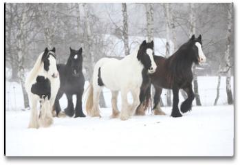 Plakat - Nice irish cobs running in winter