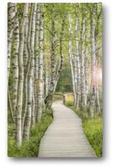 Plakat - Holzsteg inmitten eines traumhaften Birkenwald in Deutschland