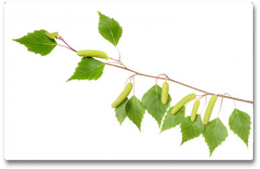 Plakat - Birch branch with aments