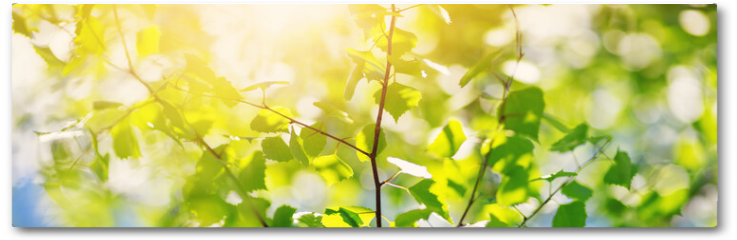 Plakat - New birch leaves on green spring background. Fresh foliage in the forest in nature with beautiful sunlight