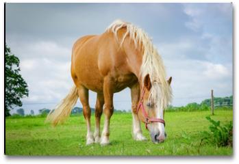 Plakat - Braunes Pferd weidet in auf einer Wiese
