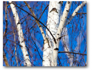 Plakat - Trunk of a birch against a blue sky