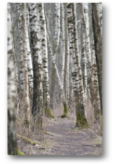Plakat - Birch trees forest at spring