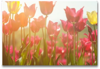 Plakat - Tulips.