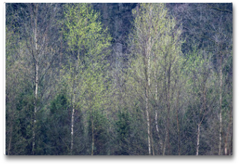 Plakat - Row of birch trees with fresh leaves in springtime.