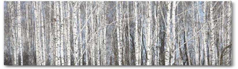 Plakat - Beautiful white birches in birch grove