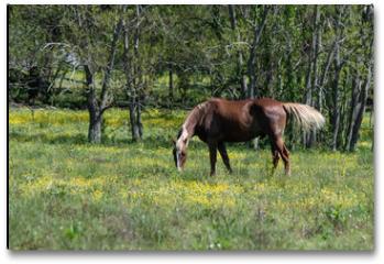Plakat - Brown horse grazing