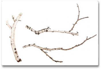 Plakat - Birch branches isolated on white background. Natural decoration elements.