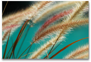 Plakat - fuzzy fountain grass