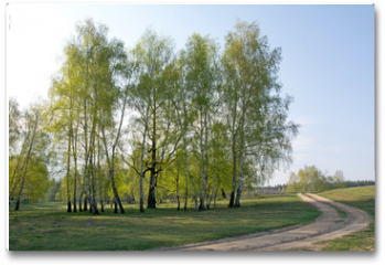 Plakat - Spring birch forest and road