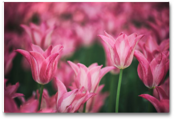 Plakat - Beautiful purple colored tulip flowers background. Selective focus used.