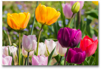 Plakat - colorful tulips in the garden